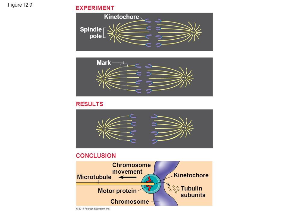 EXPERIMENT Kinetochore Spindle pole Mark RESULTS CONCLUSION