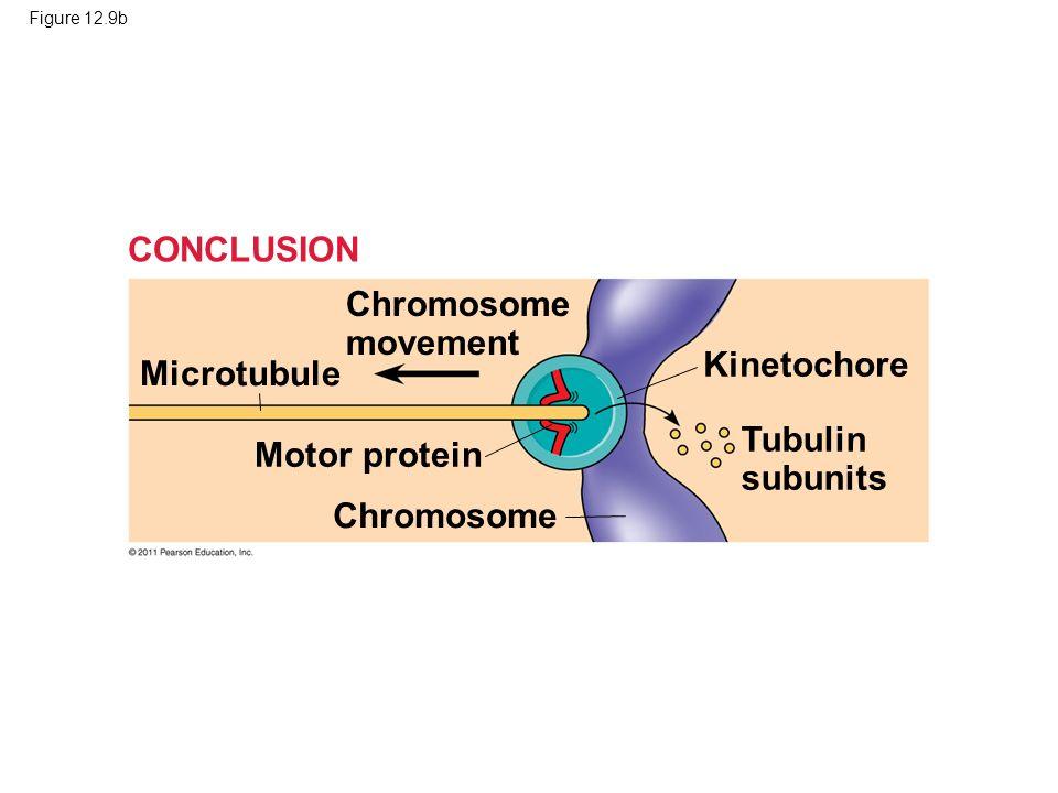 CONCLUSION Chromosome movement Kinetochore Microtubule