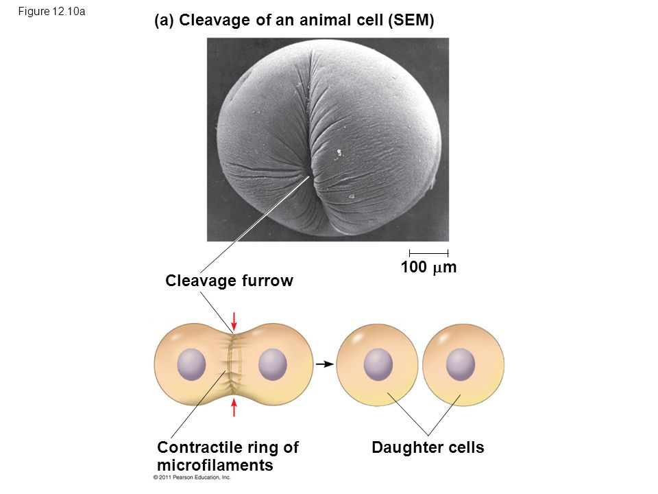 (a) Cleavage of an animal cell (SEM)