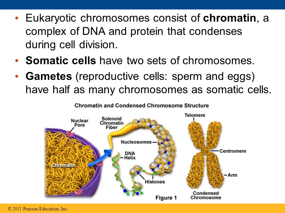 Somatic cells have two sets of chromosomes.