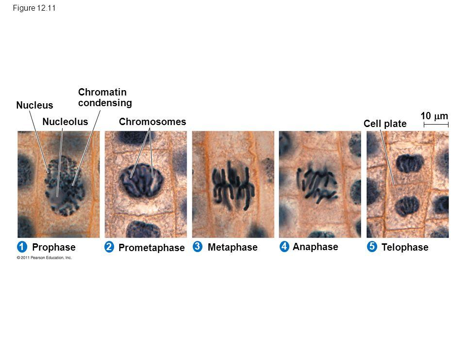 Chromatin condensing Nucleus 10 m Nucleolus Chromosomes Cell plate 1