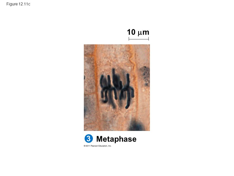 Figure 12.11c 10 m Figure 12.11 Mitosis in a plant cell. 3 Metaphase