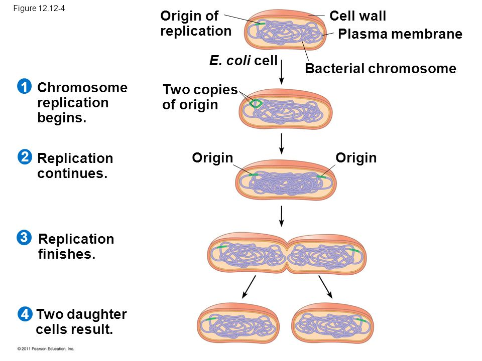 Chromosome replication begins. Two copies of origin