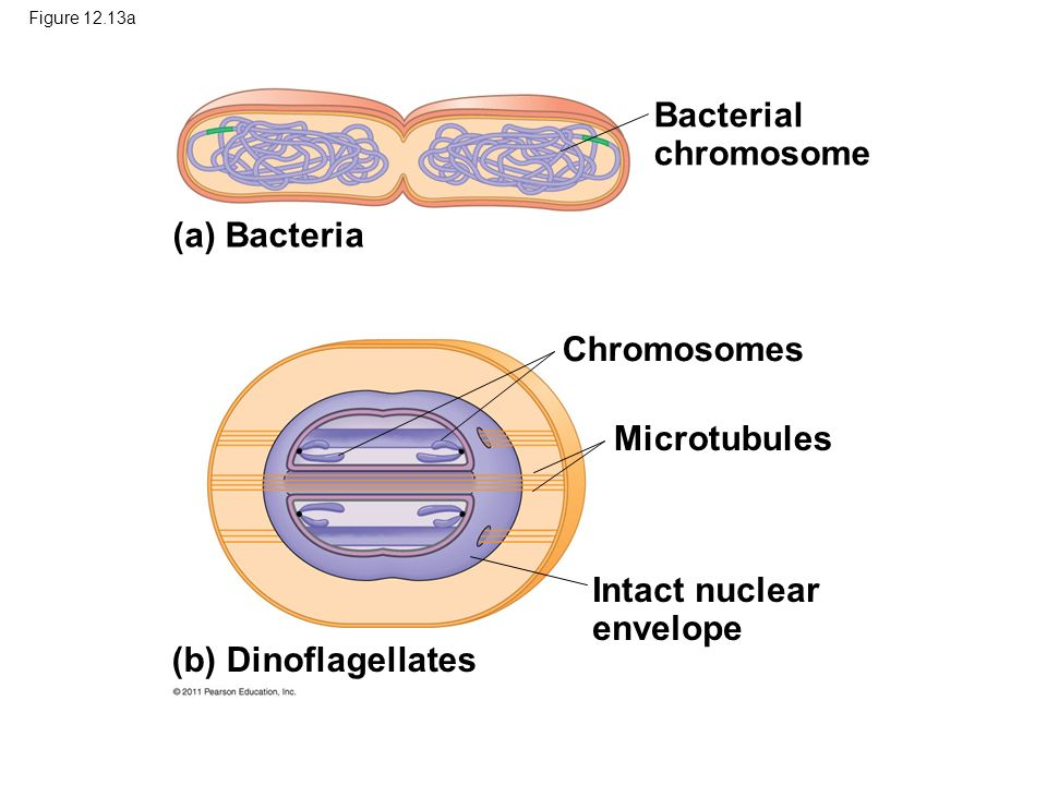 Intact nuclear envelope