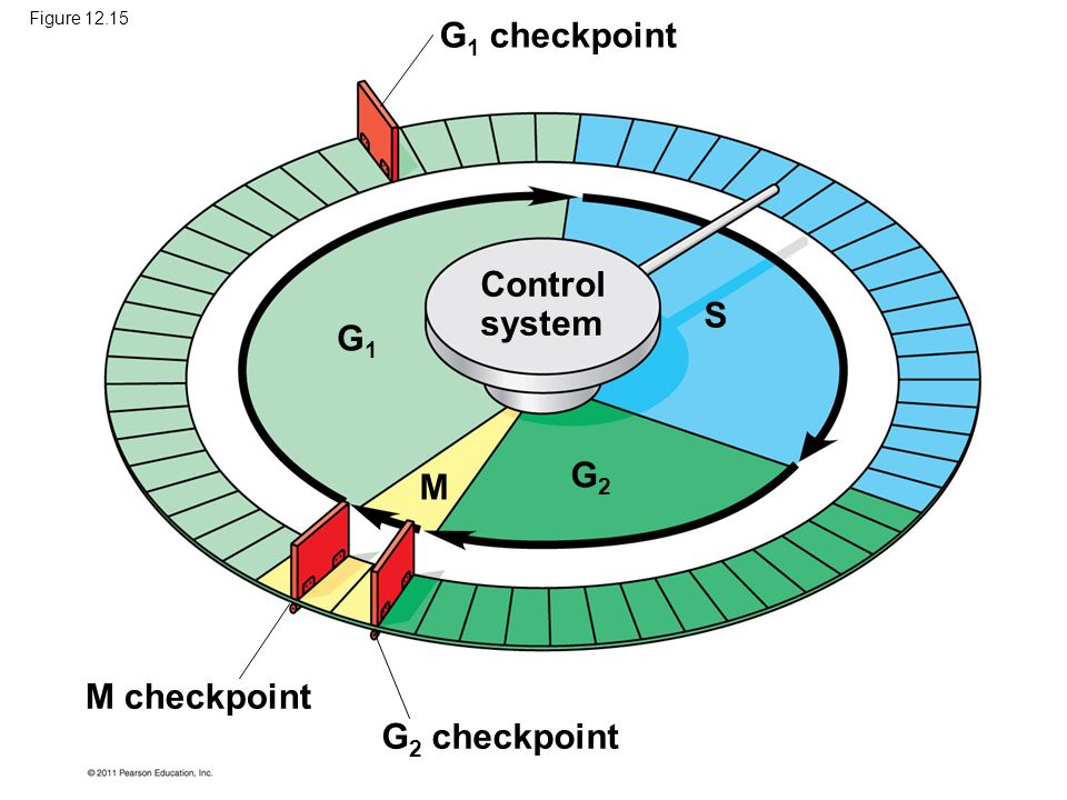 G1 checkpoint Control system S G1 G2 M M checkpoint G2 checkpoint
