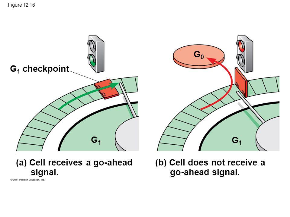 (a) Cell receives a go-ahead signal.