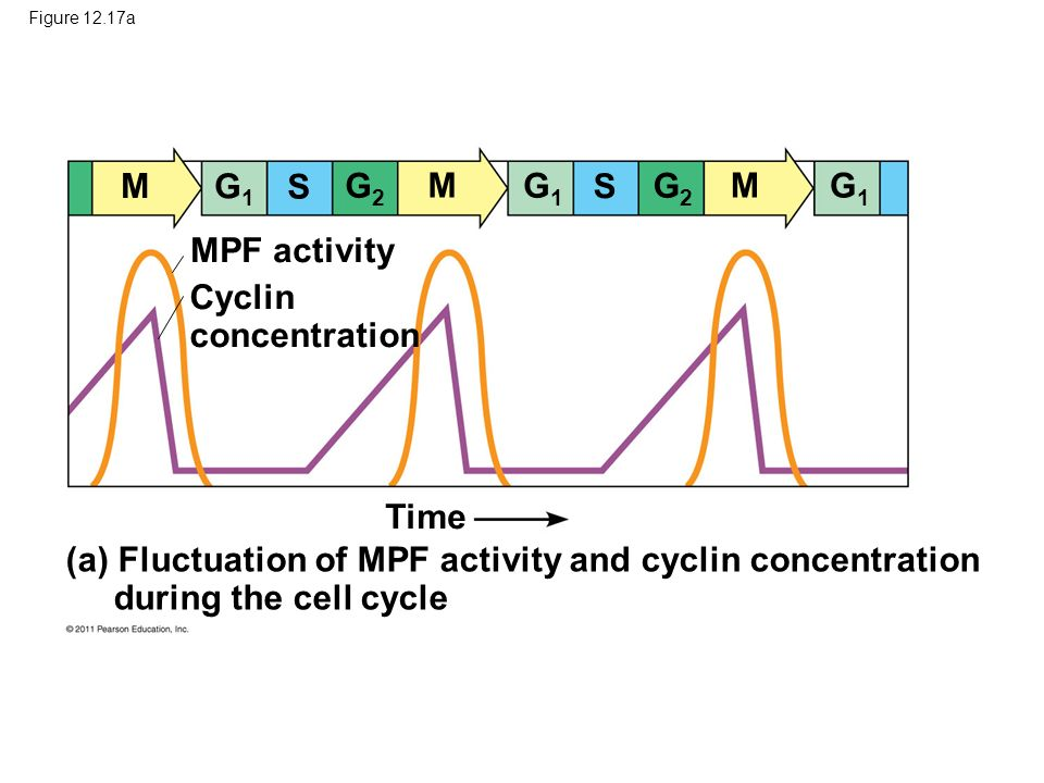 M G1 S G2 M G1 S G2 M G1 MPF activity Cyclin concentration Time