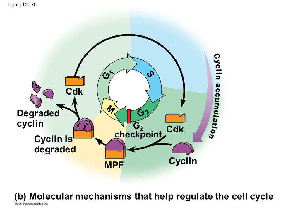 (b) Molecular mechanisms that help regulate the cell cycle