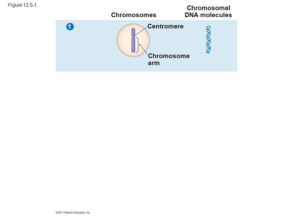 Chromosomal DNA molecules
