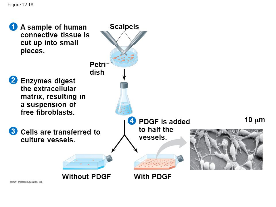 A sample of human connective tissue is cut up into small pieces.