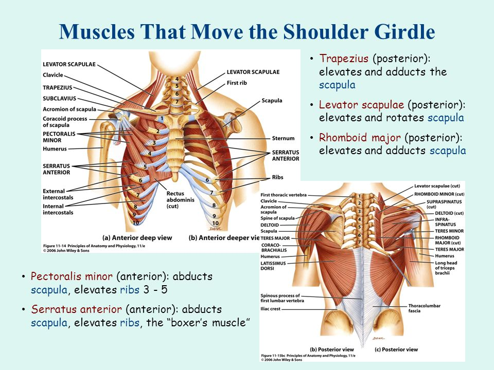 Muscles That Move the Shoulder Girdle