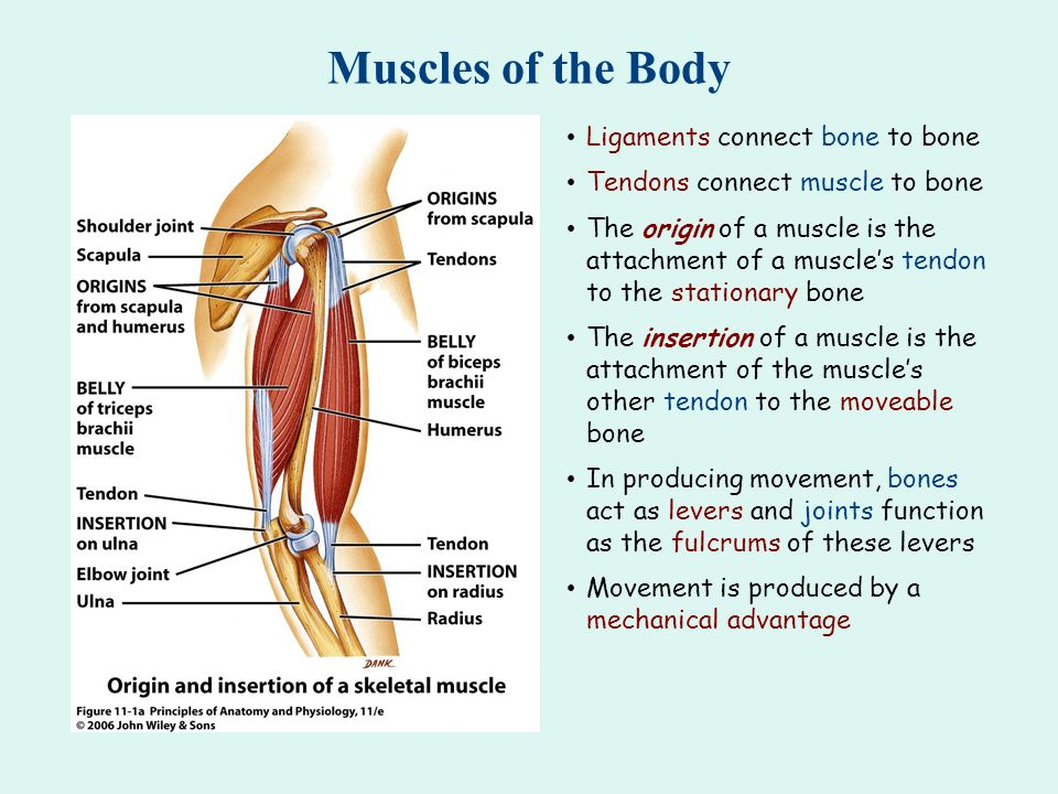 Muscles of the Body Ligaments connect bone to bone