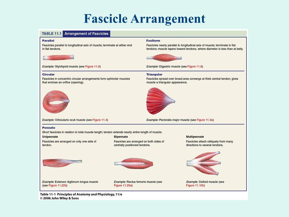 Fascicle Arrangement