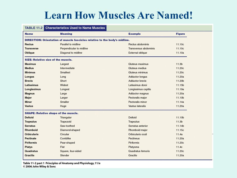 Learn How Muscles Are Named!