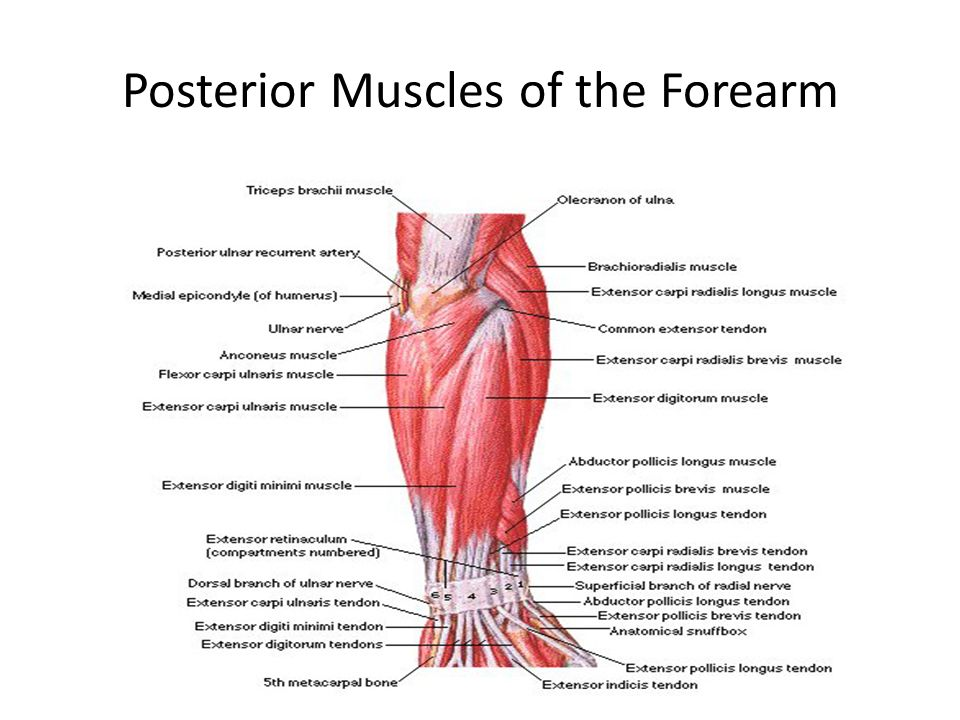 Attractive Chapter 10 Muscular System Gross Anatomy Frieze Anatomy