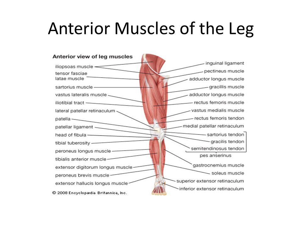 Anatomy lower leg muscles