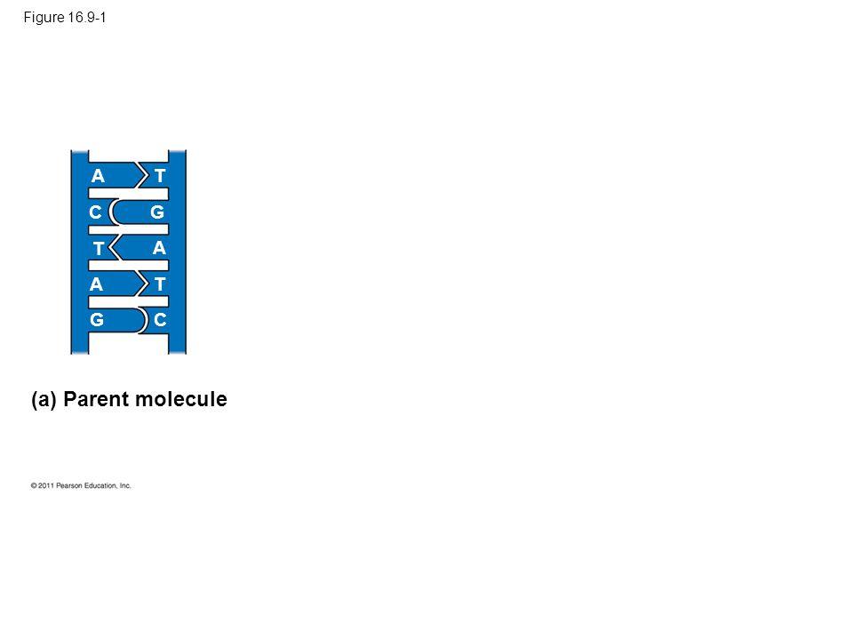 (a) Parent molecule A T C G T A A T G C Figure 16.9-1