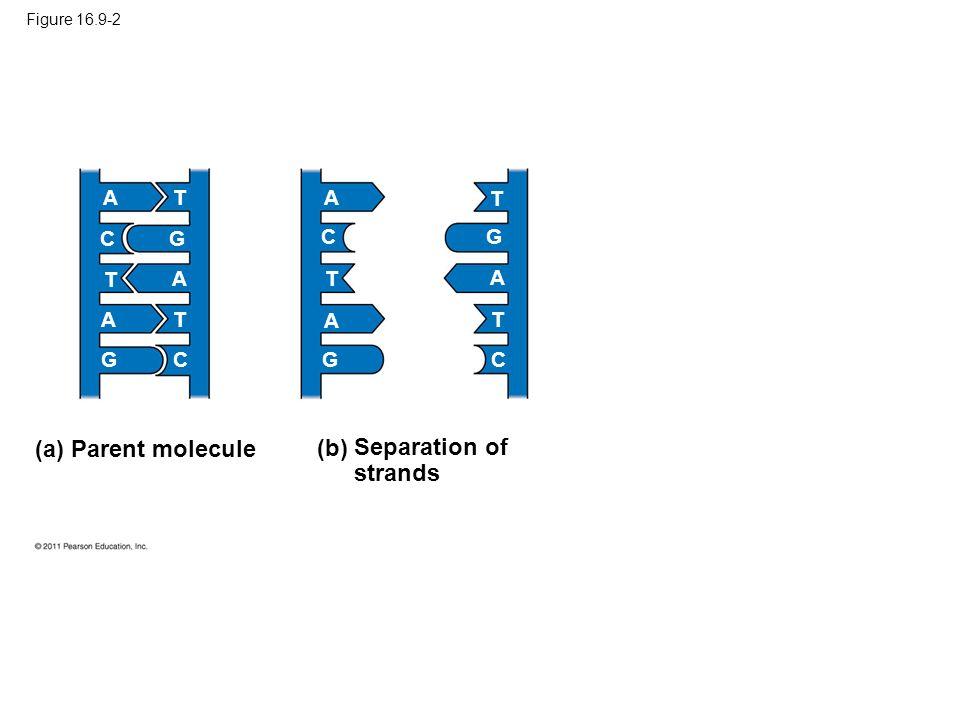 (a) Parent molecule (b) Separation of strands A T A T C G C G T A T A