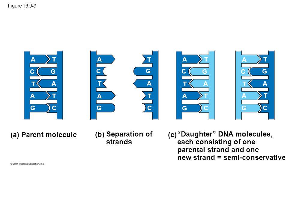 (a) Parent molecule (b) Separation of strands (c)