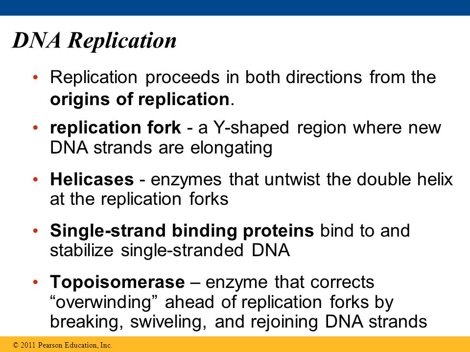 DNA Replication Replication proceeds in both directions from the origins of replication.