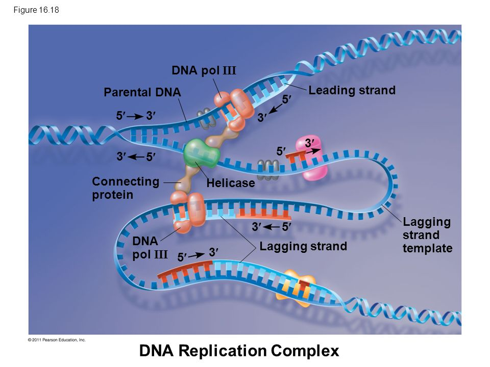 DNA Replication Complex