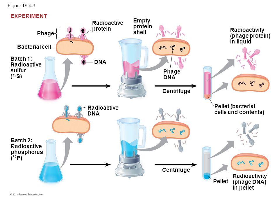 Radioactivity (phage protein) in liquid Phage