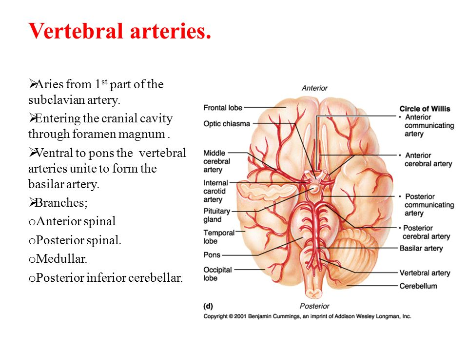 Vertebral arteries. Aries from 1st part of the subclavian artery.