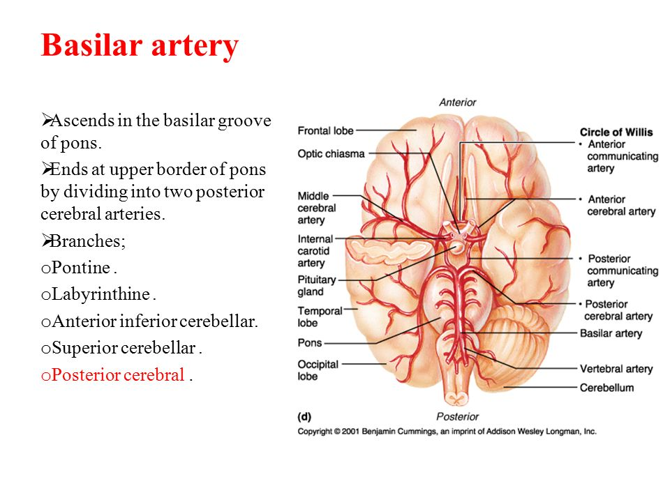 Basilar artery Ascends in the basilar groove of pons.