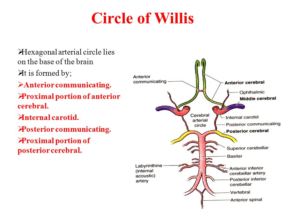 Circle of Willis Hexagonal arterial circle lies on the base of the brain. It is formed by; Anterior communicating.