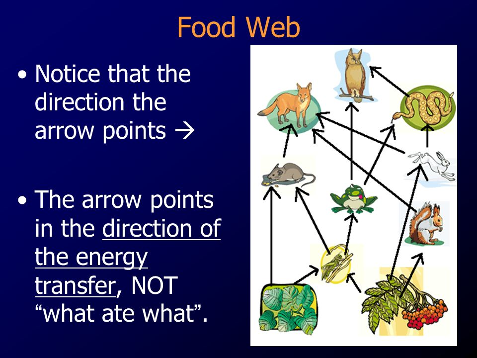 Food Web Notice that the direction the arrow points 