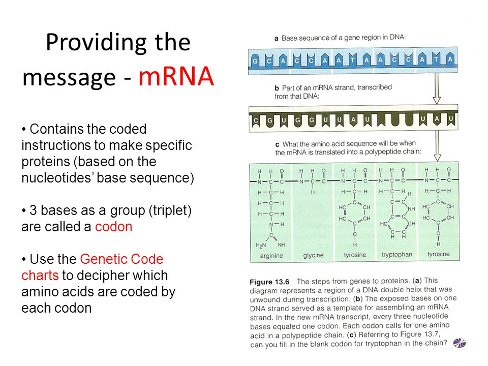 Providing the message - mRNA