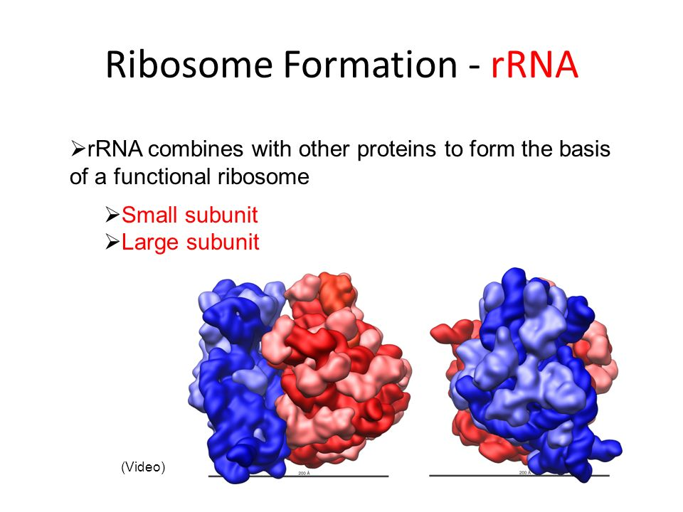 Ribosome Formation - rRNA