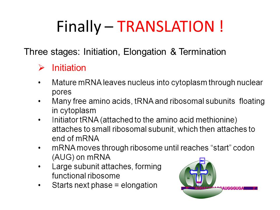 Finally – TRANSLATION ! Three stages: Initiation, Elongation & Termination. Initiation.