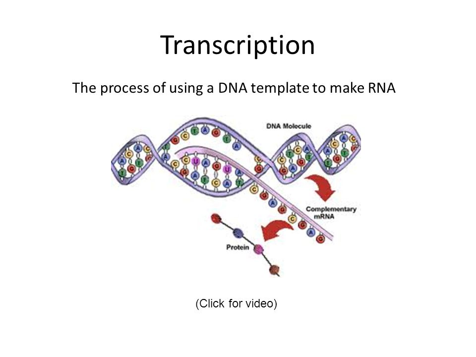 Transcription The process of using a DNA template to make RNA