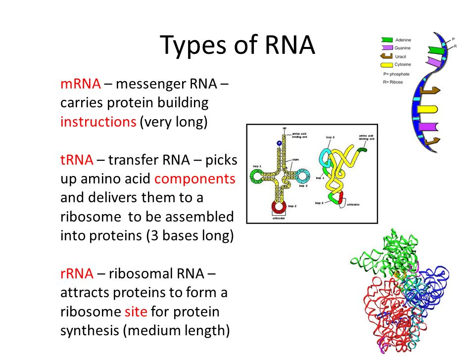 Types of RNA mRNA – messenger RNA – carries protein building instructions (very long)