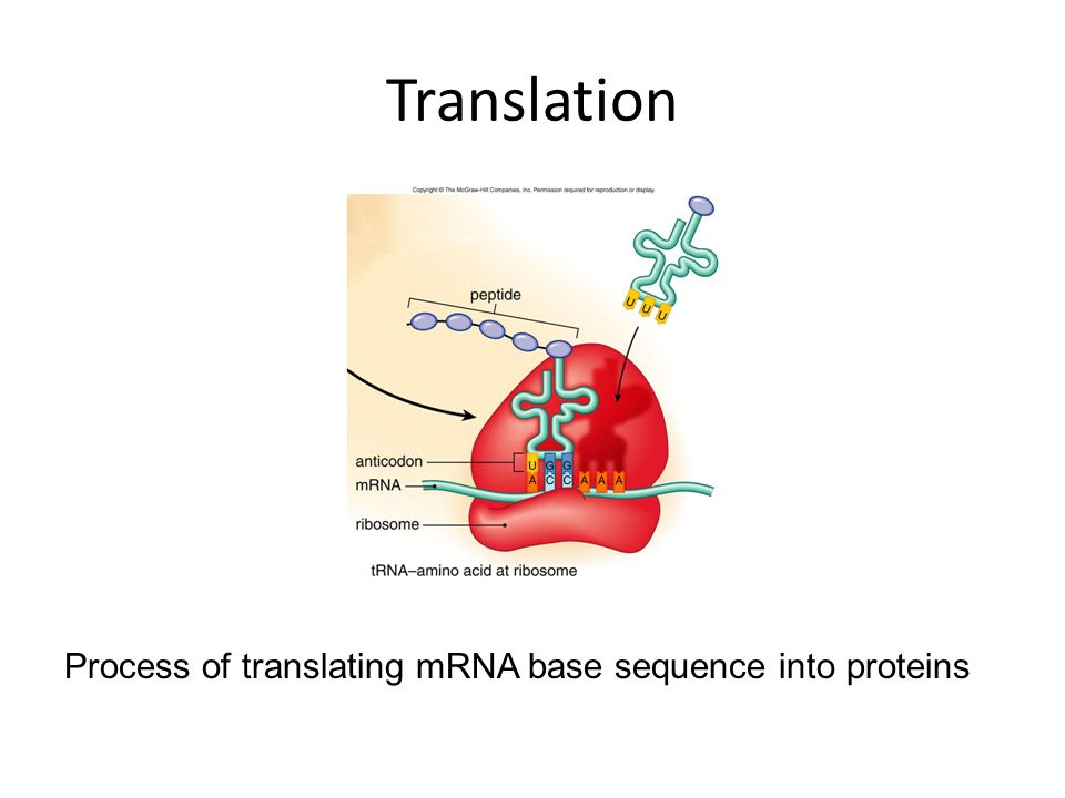 Translation Process of translating mRNA base sequence into proteins
