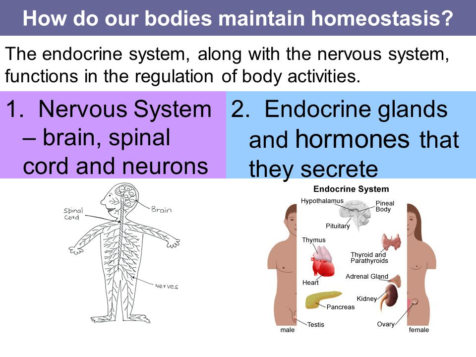 How Does the Human Body Maintain Homeostasis?