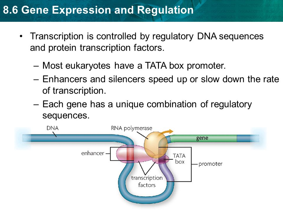 Transcription is controlled by regulatory DNA sequences and protein transcription factors.