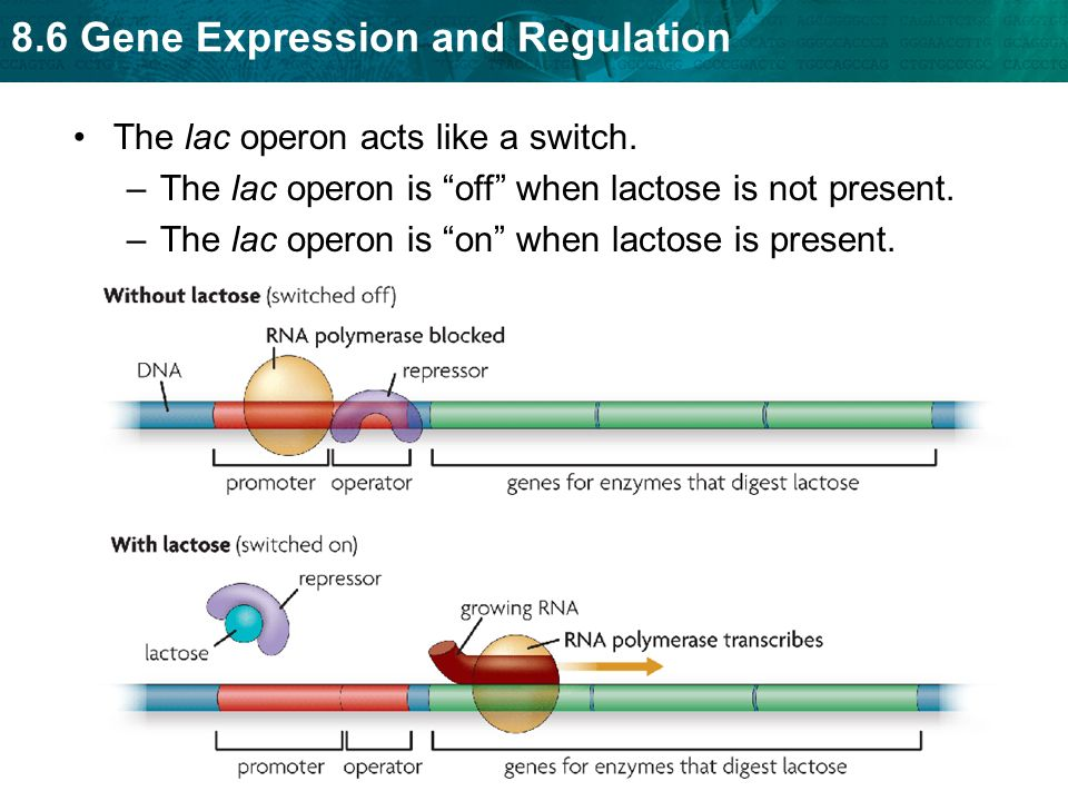 The lac operon acts like a switch.