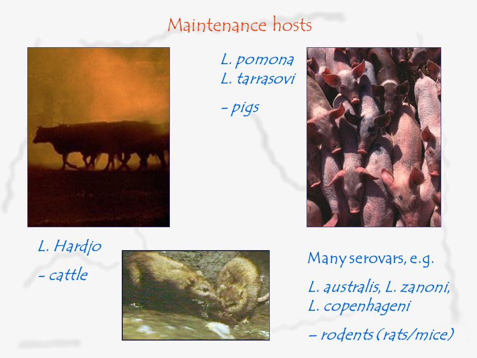 Maintenance hosts L. pomona L. tarrasovi - pigs L. Hardjo - cattle