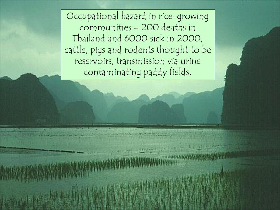 Occupational hazard in rice-growing communities – 200 deaths in Thailand and 6000 sick in 2000, cattle, pigs and rodents thought to be reservoirs, transmission via urine contaminating paddy fields.