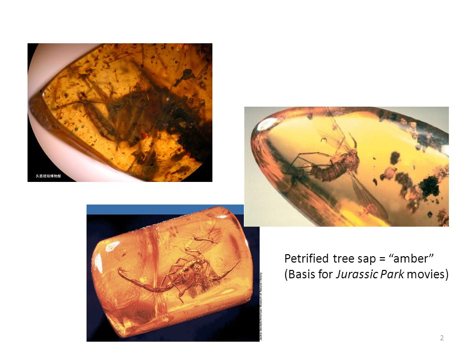Petrified tree sap = amber (Basis for Jurassic Park movies)