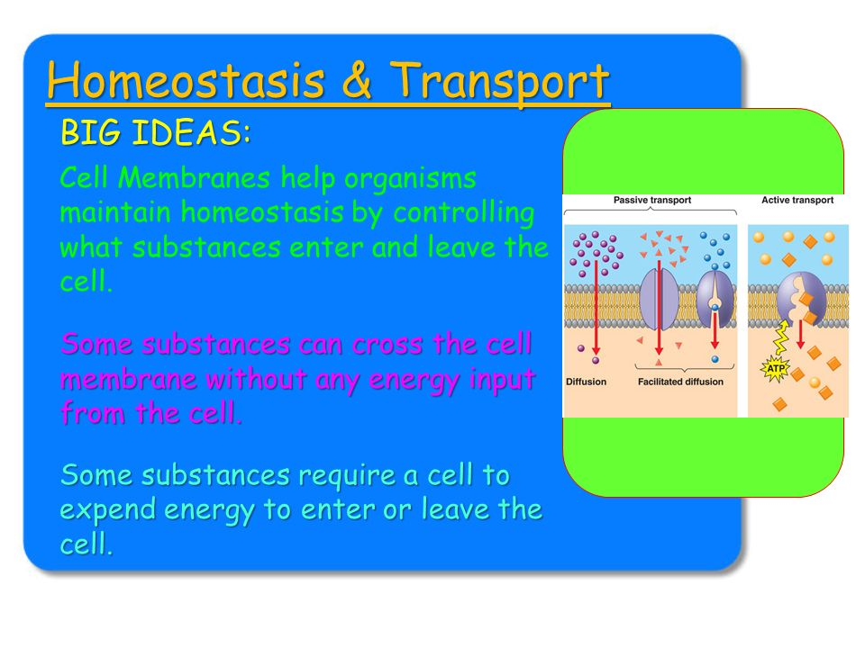 cell transport and homeostasis Cellular homeostasis involves maintaining a balance of several factors that make a cell healthy the cell membrane is a lipid bilayer that prevents that passage of water and ions three ways in which active transport differs from the process of diffusion across a cell membrane.