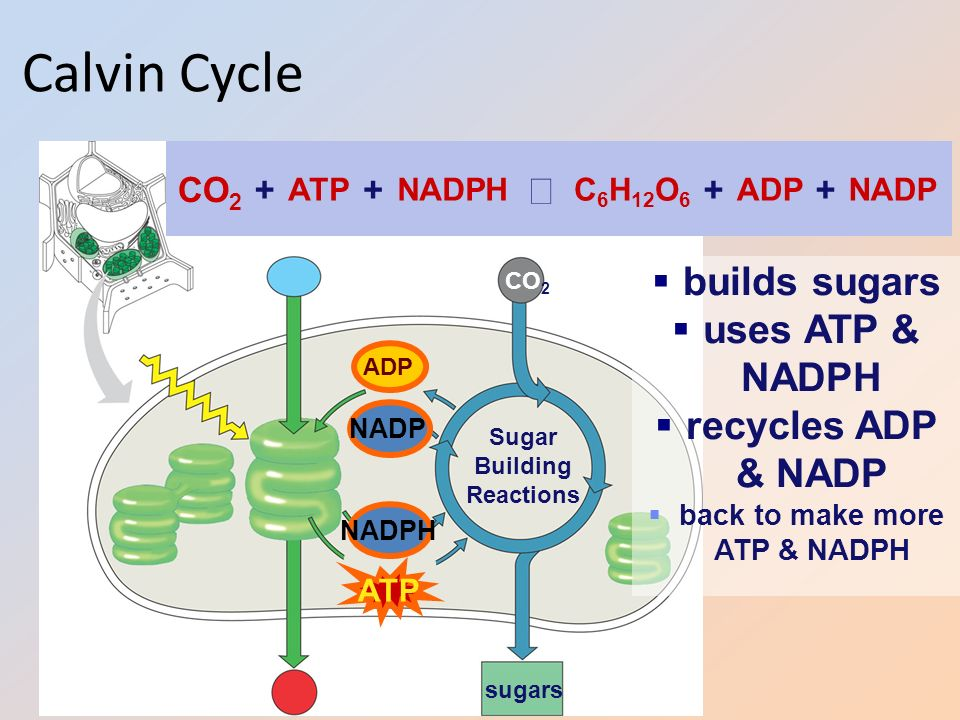 discuss the role of atp in Net energy yield of the citric acid cycle for each acetyl group used up, the cycle produces: 3 nadh + 1 fadh2 + 1 gtp + 2 co2 since each nadh can result in 3 atp, and each fadh2 can result in 2 atp, the.