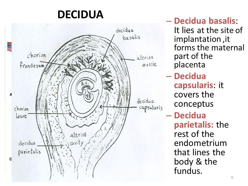Decidua Basalis Related Keywords Decidua Basalis Long