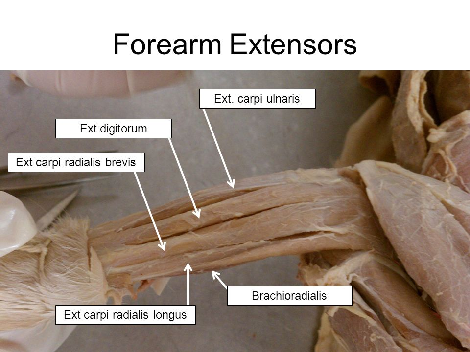 cat upper body muscles basic list ppt video online download