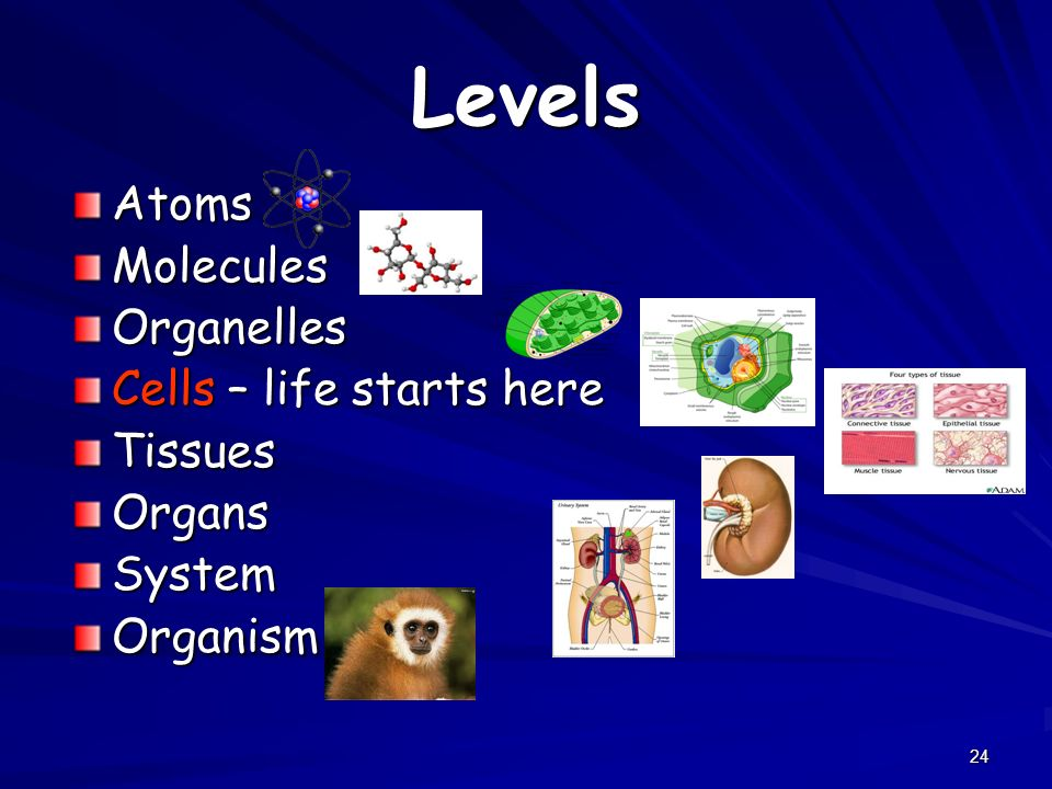 Levels Atoms Molecules Organelles Cells – life starts here Tissues