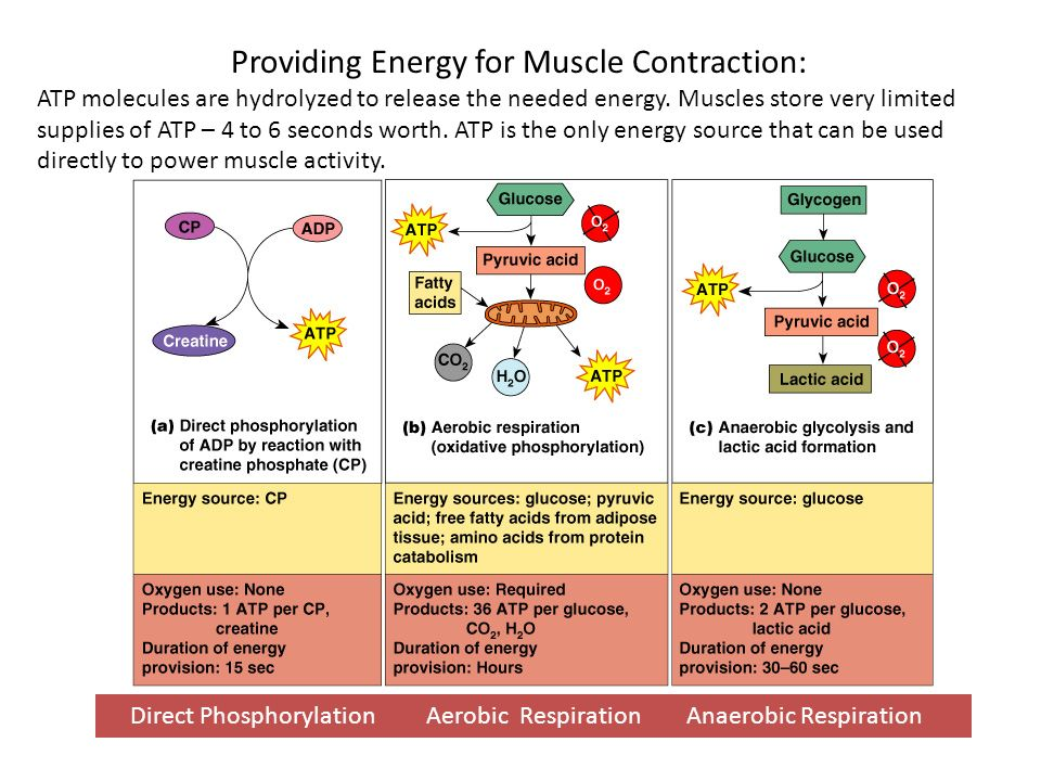 Providing Energy for Muscle Contraction: