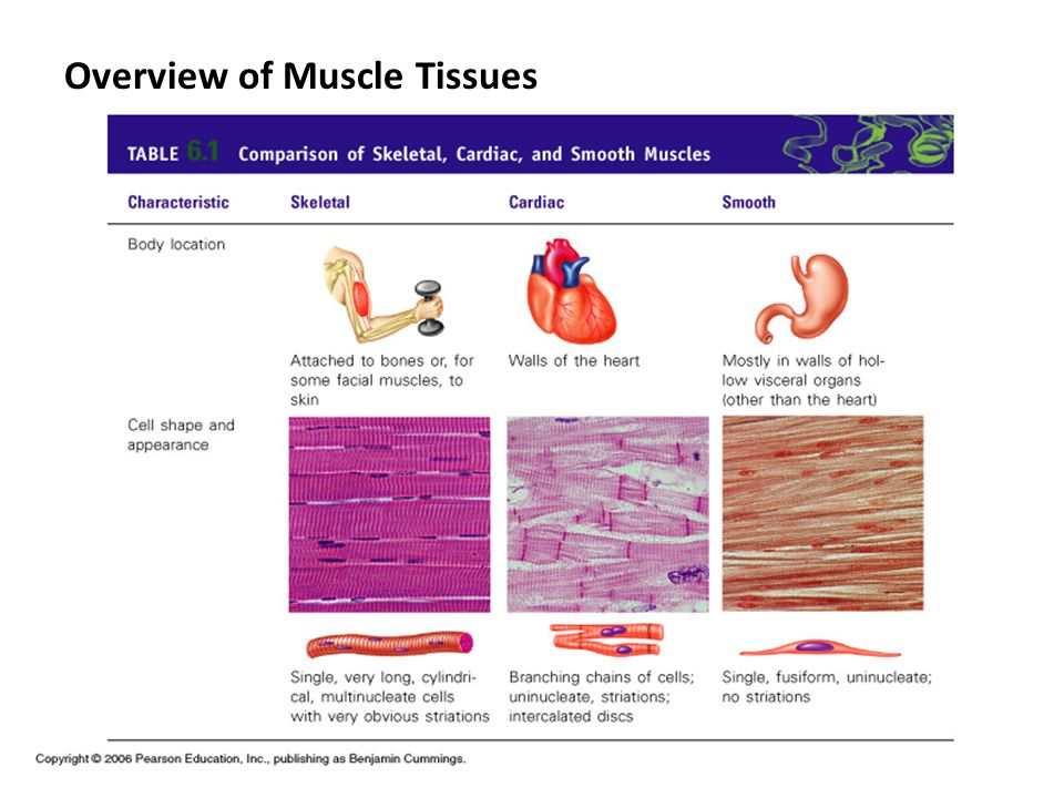 Overview of Muscle Tissues