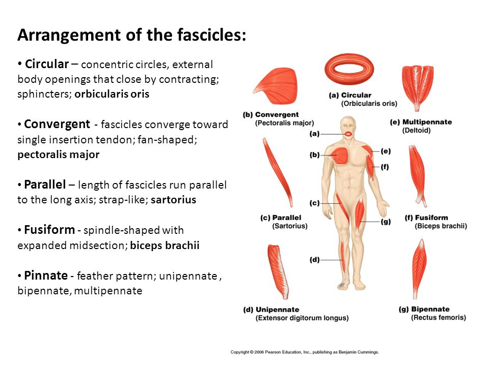 Arrangement of the fascicles:
